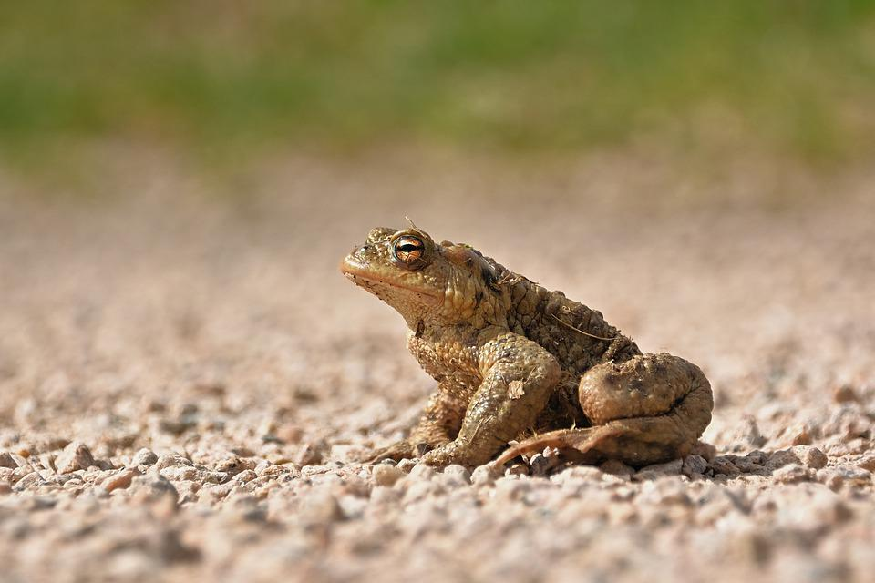 Common Toad, Bufo Bufo, Amphibian, Toad Migration