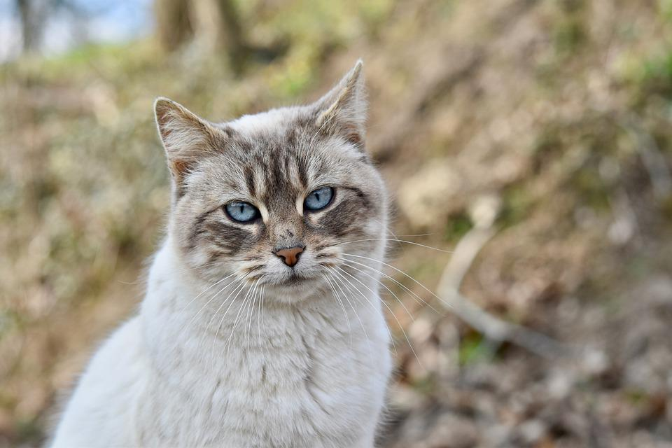 Cat, Blue Eyes, Kitty, Alley Cat, Female, Companion