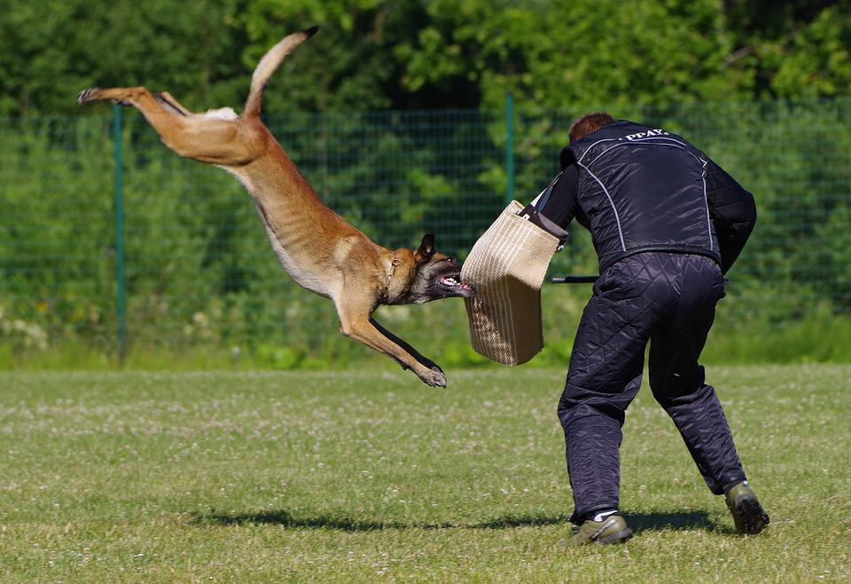 Belgian Shepherd Malinois, Attack, Competition, Dog
