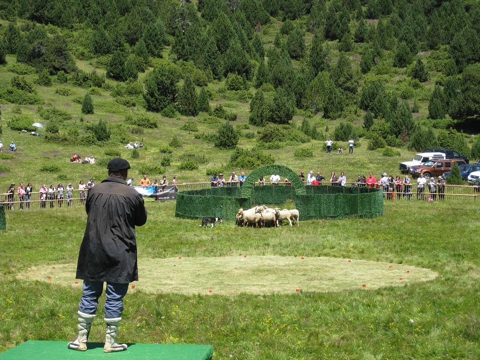 Pastor, Livestock, Flock, Show, Competition