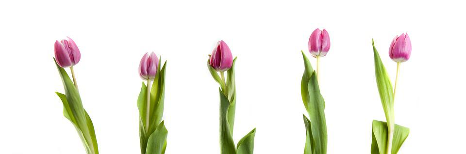 Free photo completed tulips white background pink flowers max pixel tulips flowers pink completed white background mightylinksfo