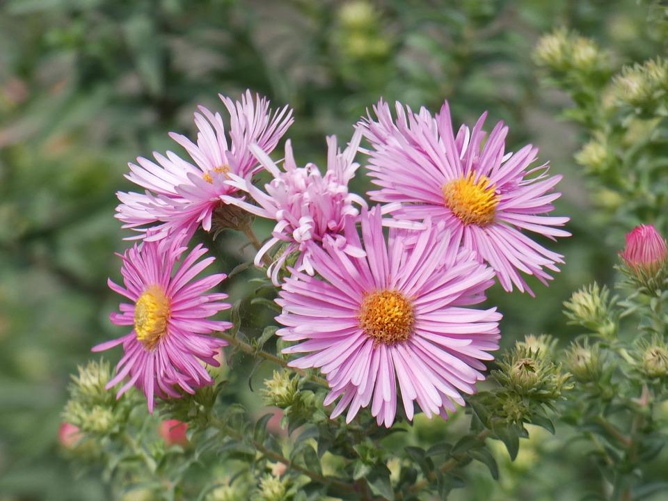 Aster, Astéraceae, Star, Flower, Pink, Composite
