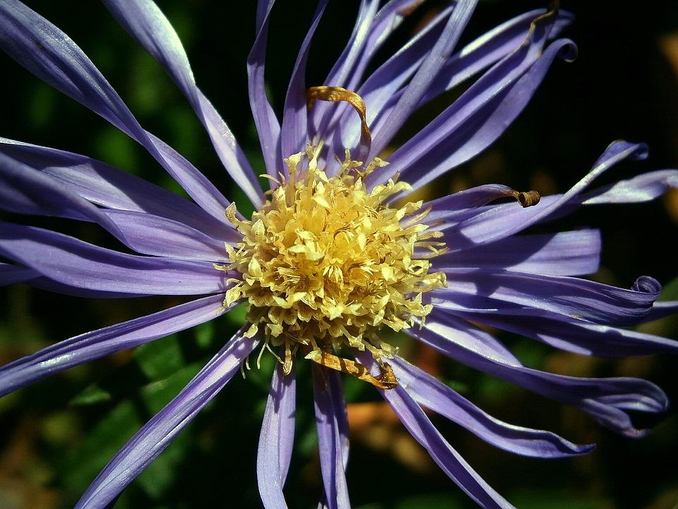 Aster, Composites, Blossom, Bloom, Flower, Purple