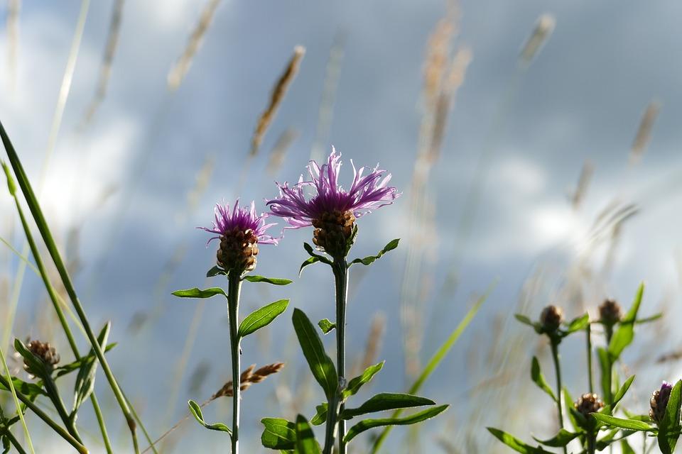 Bluets, Composites, Wild Plant, Blossom, Bloom