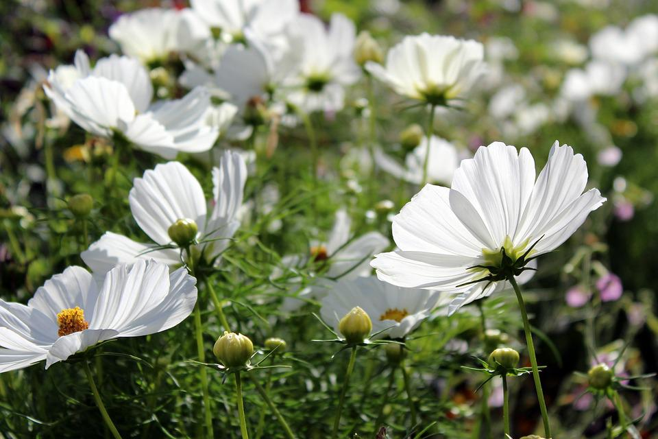 Cosmos Bipinnatus, Cosmea, Flower, Composites, Kosmee