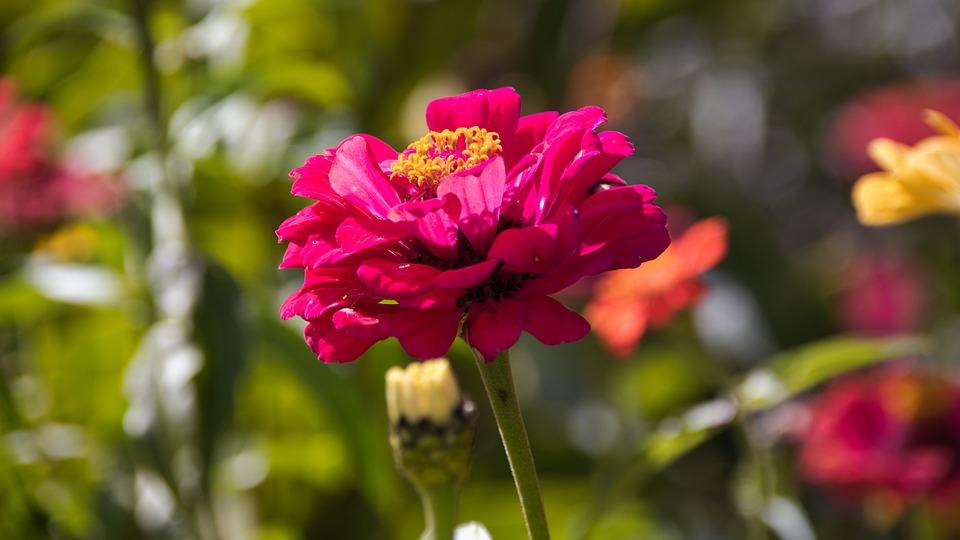 Zinnia, Composites, Flower, Flower Garden