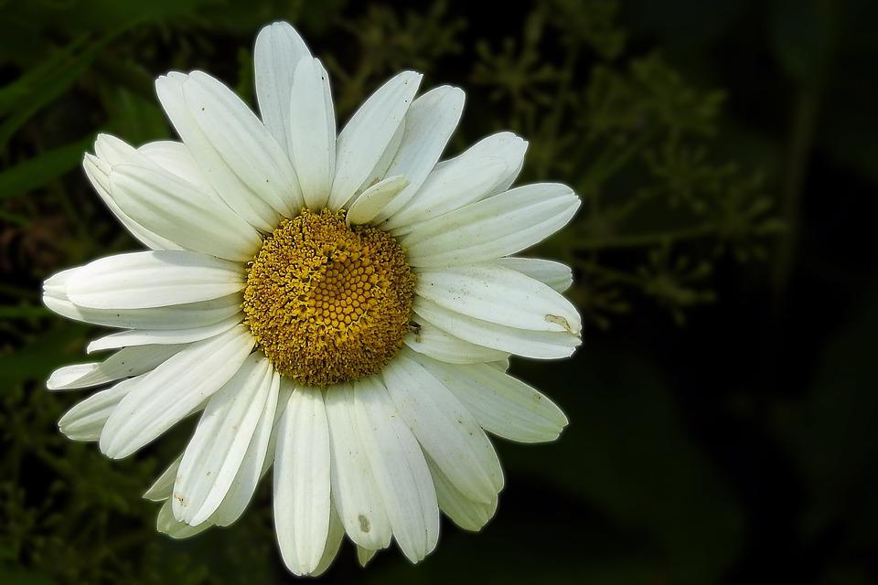 Marguerite, White, Composites, Flower, Blossom, Bloom