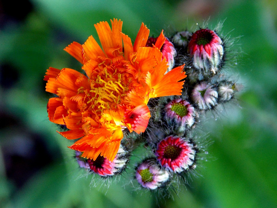 Hawkweed, Composites, Red Orange Hawkweed, Blossom
