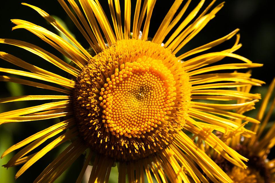 Inula, Flower, Yellow, Composites, Flower Basket