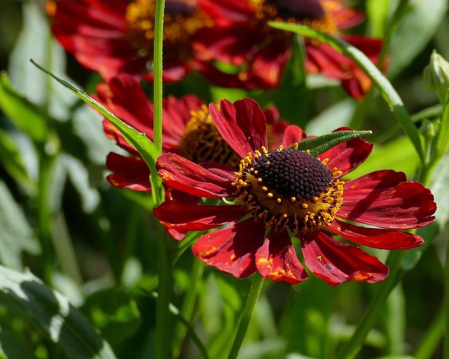 Sun Brews, Garden, Composites, Summer, Flower Garden