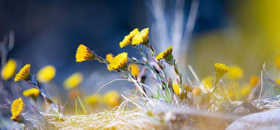 Tussilago, Tussilago Farfara, Composites, Spring Flower