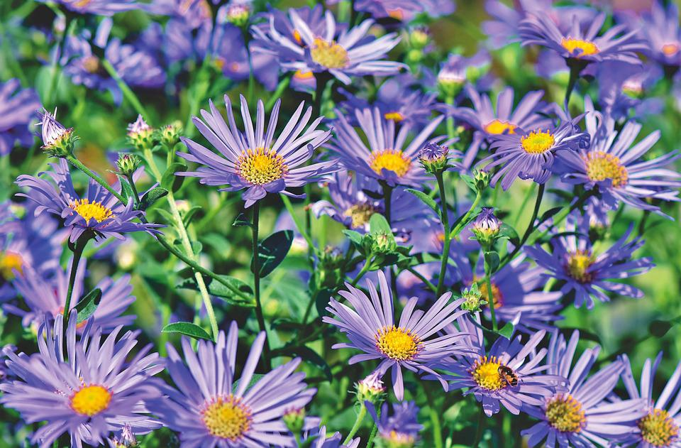 Aster, Composites, Meadow, Flower Meadow Purple, Violet