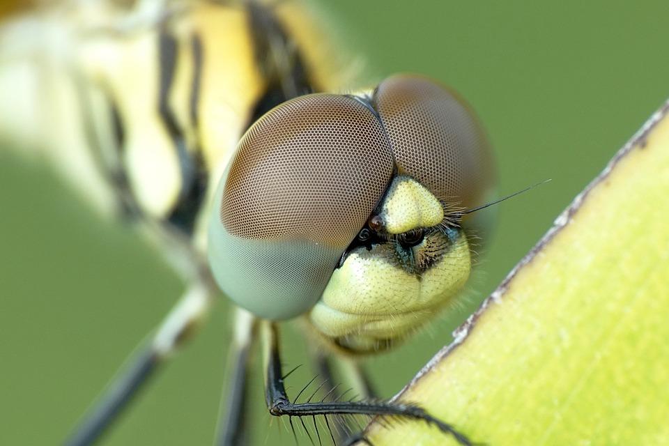 Dragonfly, Compound Eyes, Insect, Eyes, Invertebrate