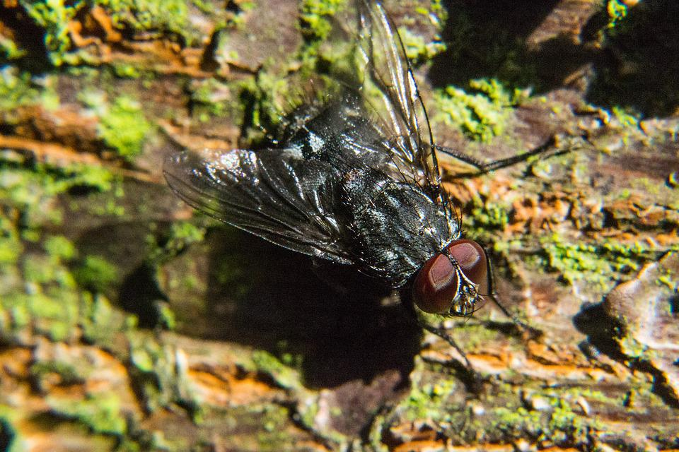 Fly, Insect, Close, Compound Eyes