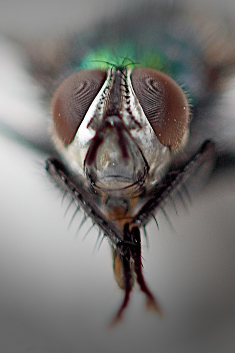 Common Housefly, Compound Eyes, Macro, Close, Fly