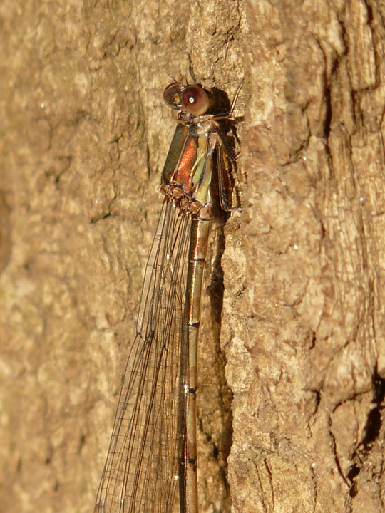 Lestes Viridis, Dragonfly, Insect, Compound, Stalk Eyed