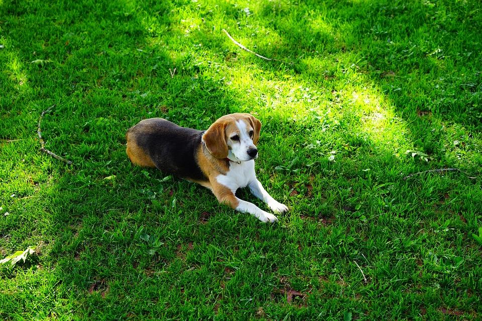 Beagle, Dog, Purebred Dog, Dog Look, Concerns, Pet