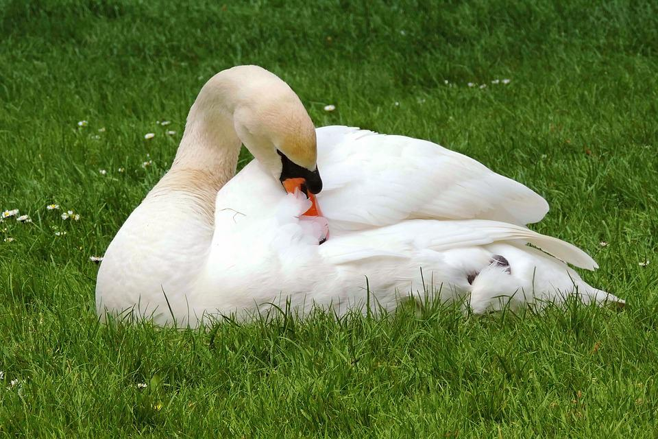 Swan, Mute Swan, White, Plumage, Meadow, Concerns