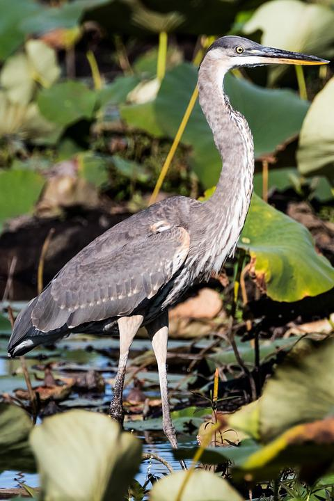 Usa, Mass, Concord, Blue Heron, Birding, Lake, Fishing