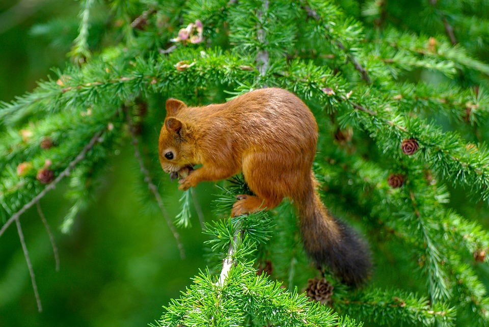 Squirrel, Cone, Eat, Softwood, Larch