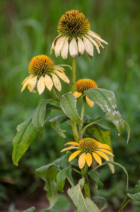 Cone Flowers, Flowers Flower, Summer End