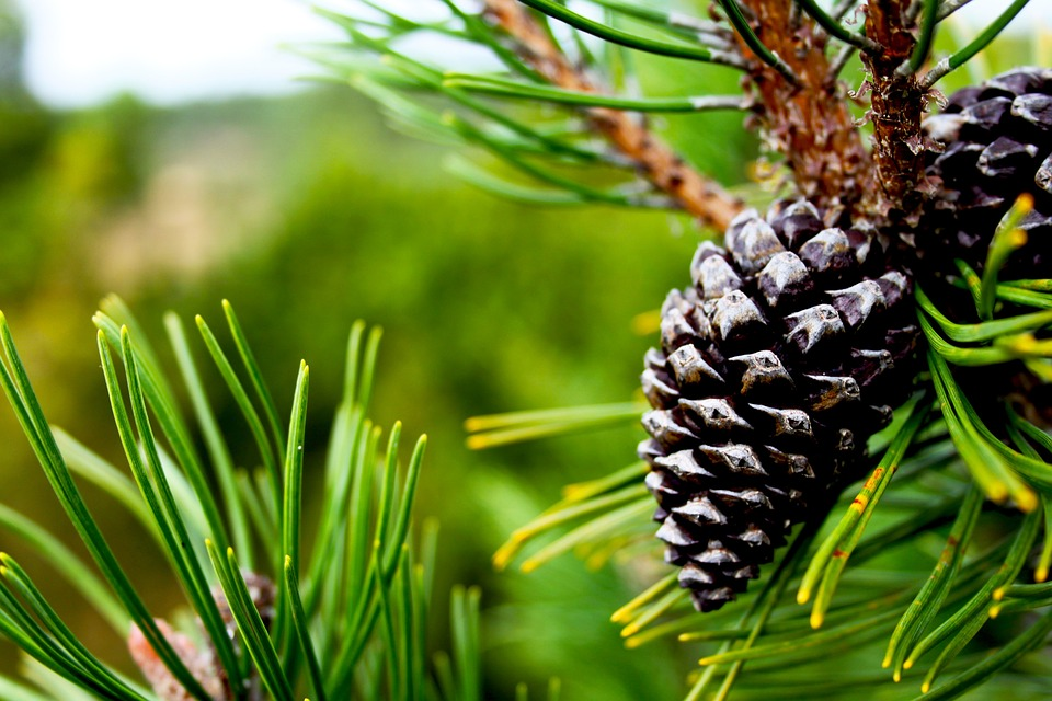 Pine, Cone, Green, Tree, Plant, Blur, Nature