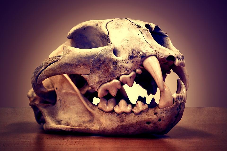 Skull, Death, Mountain Lion, Puma, Cougar, Dry, Cone