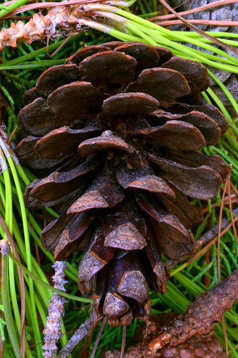 Pine, Cone, Tree, Leaves, Forest, Nature, Wood, Fruit