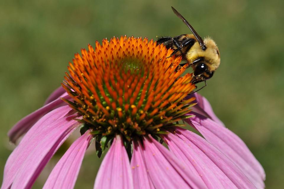 Pollen, Bee, Allergies, Coneflower, Summer, Pollinator