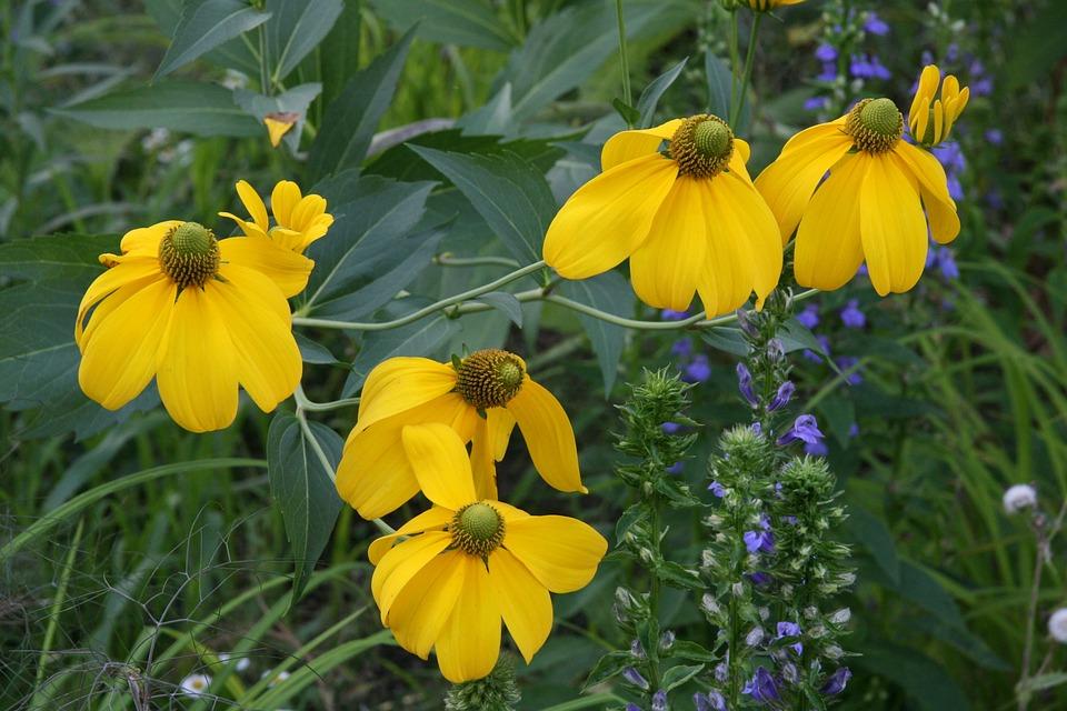 Free photo coneflower yellow petals bloom flowers meadow max pixel yellow flowers coneflower meadow bloom petals mightylinksfo