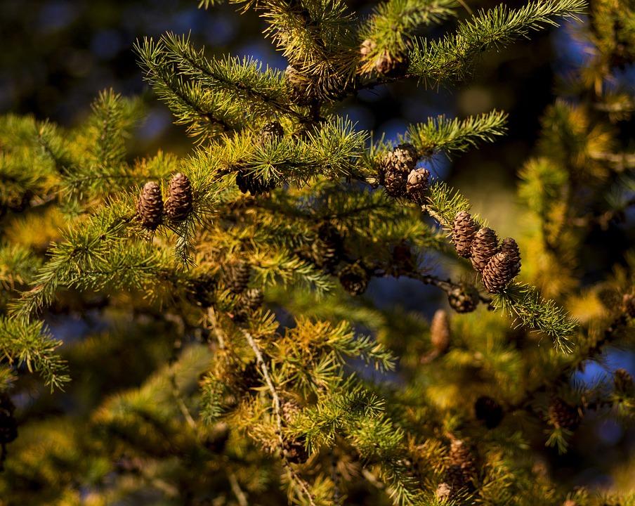 Larch, Cones, Larch Cones, Larch Branch, Branch, Autumn