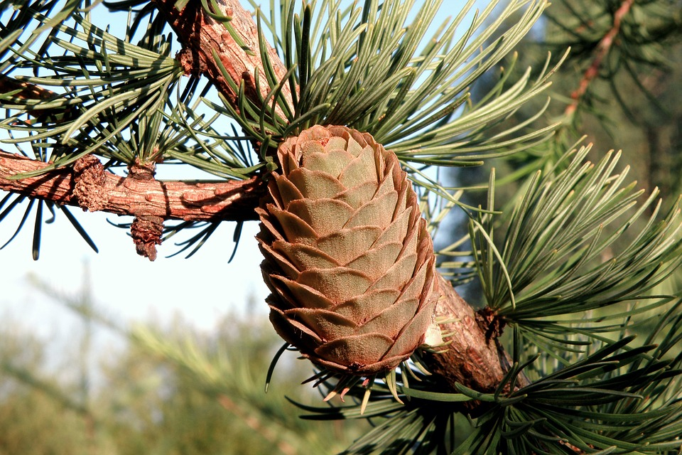 Pine Cone, Spruce, Needles, Tree, Green, Cones, Forest