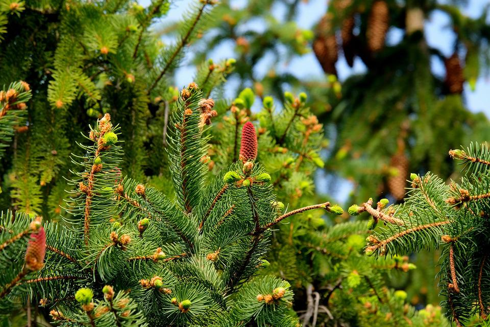 Fir Trees, Needles, Cones, Pine Cones, Pine Needles