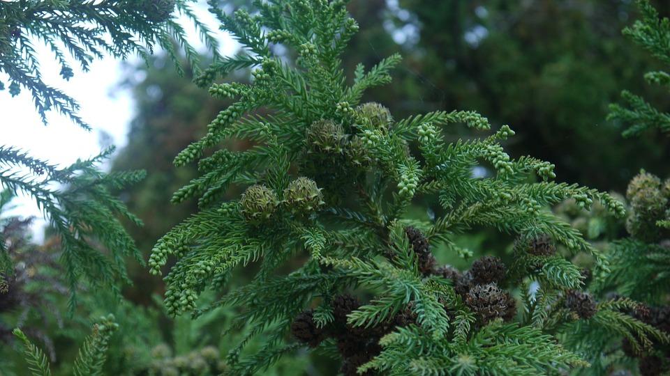 Cones, Spruce, Needles, Coniferous Tree