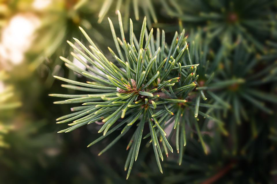 Pine Branch, Pine, Branch, Needle, Conifer Branch