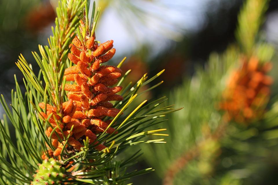 Blossom, Branch, Brown, Cone, Conifer, Fir, Flower