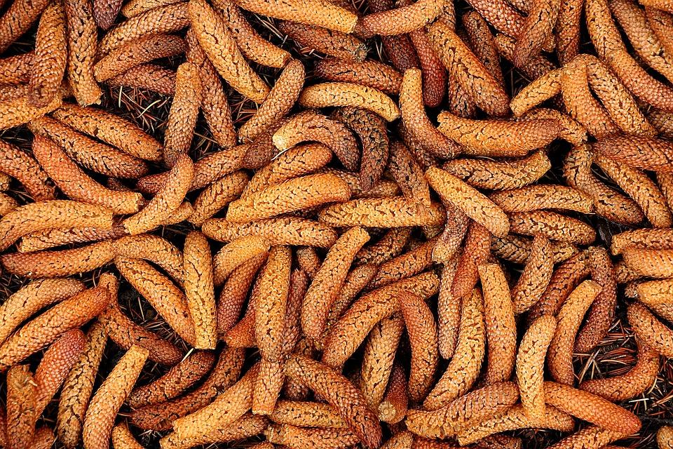Cedar Seeds, Cedar, Tree, Conifer, Plant, Nature