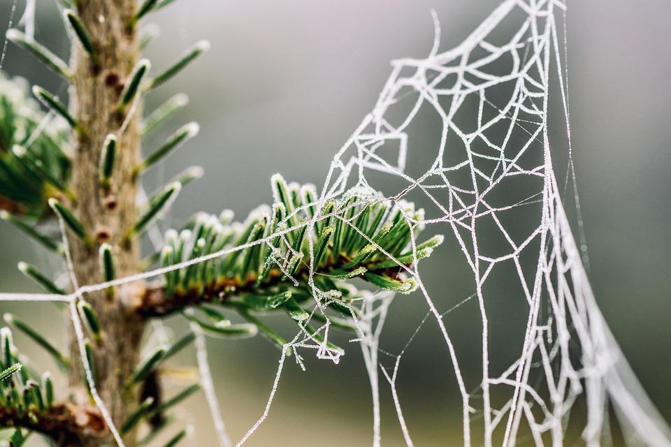 Cobweb, Fir Tree, Frost, Branch, Conifer, Forest
