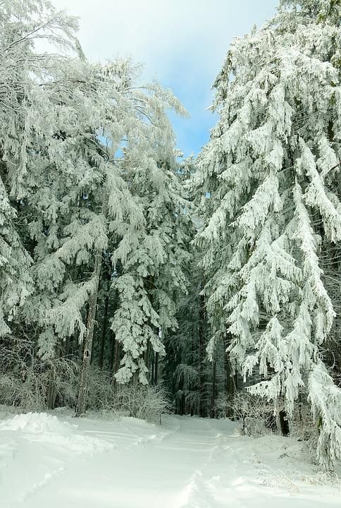 Winter, Snow, Frost, Conifer, Forest