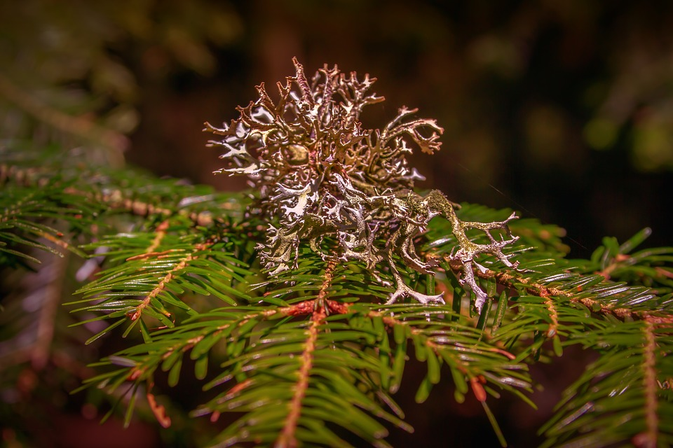 Weave, Conifer, Branch, Lichen, Healthy, Green, Nature