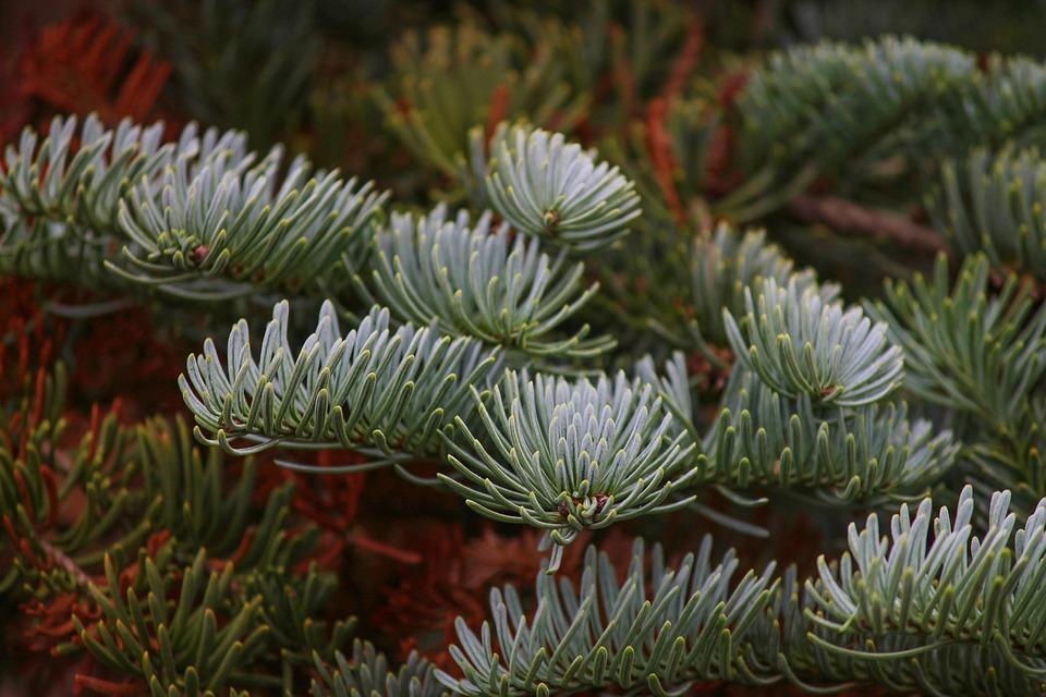 Fir Tree, Tannenzweig, Needles, Pine Needles, Conifer