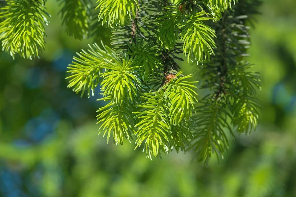 Tree, Spruce, Pine Needles, Pine Tree, Conifer