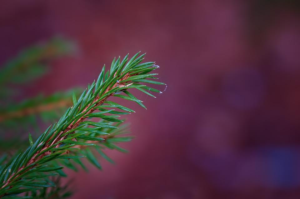 Branch, Conifer, Conifer Show, Needles, Green, Spruce