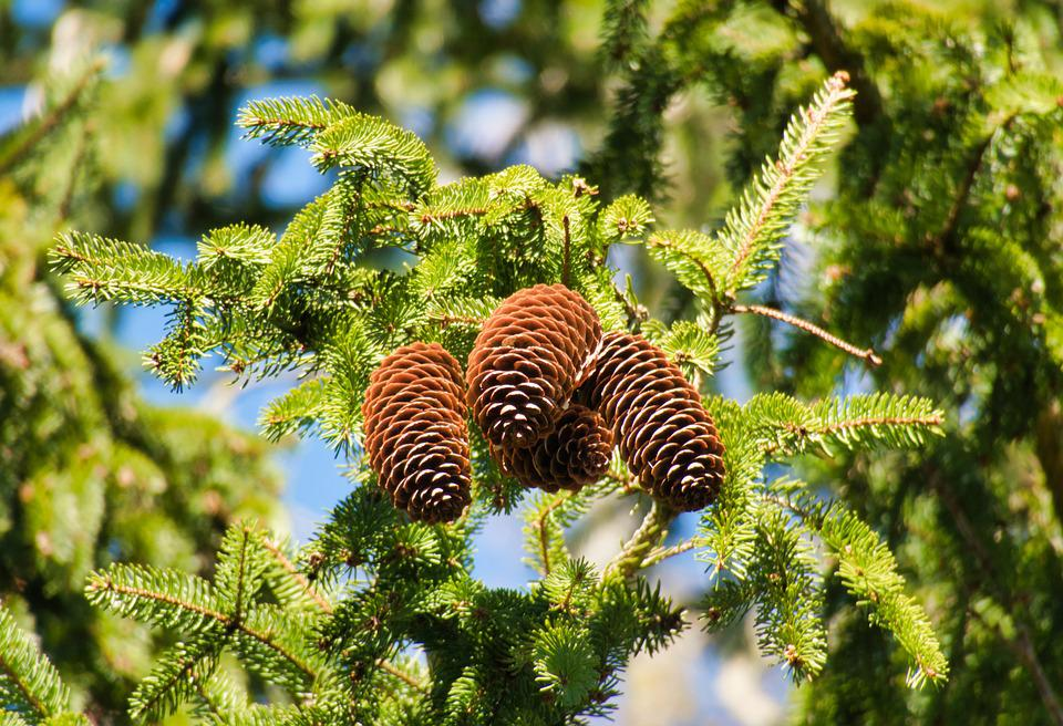 Tap, Pine Cones, Conifer, Needles, Softwood, Evergreen