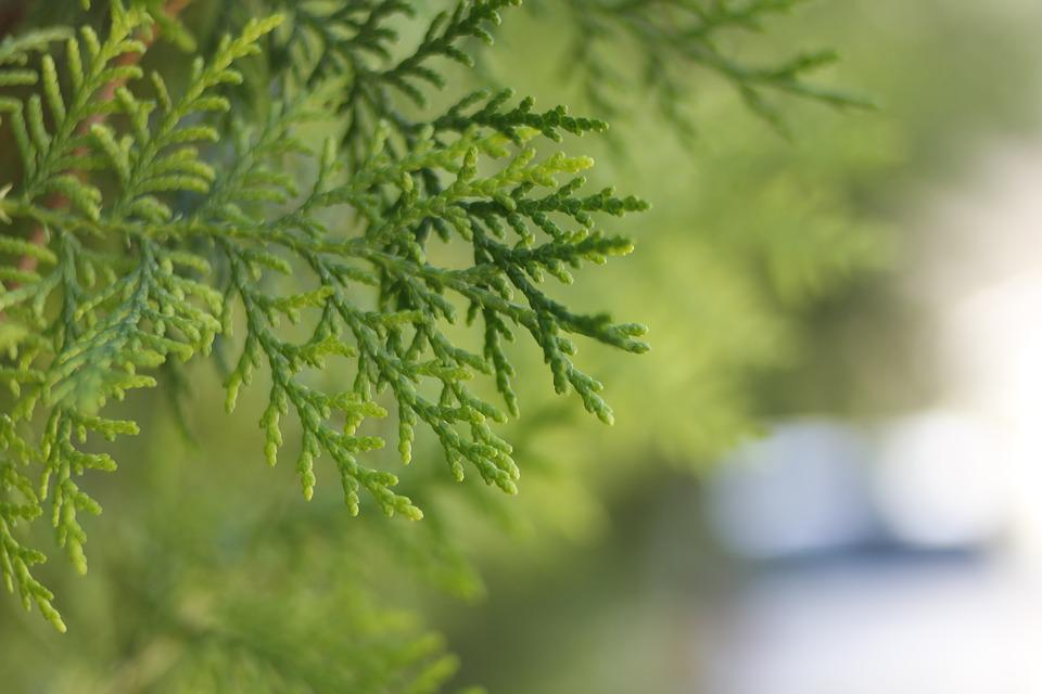 Thuja, Conifer, Trees, Evergreen