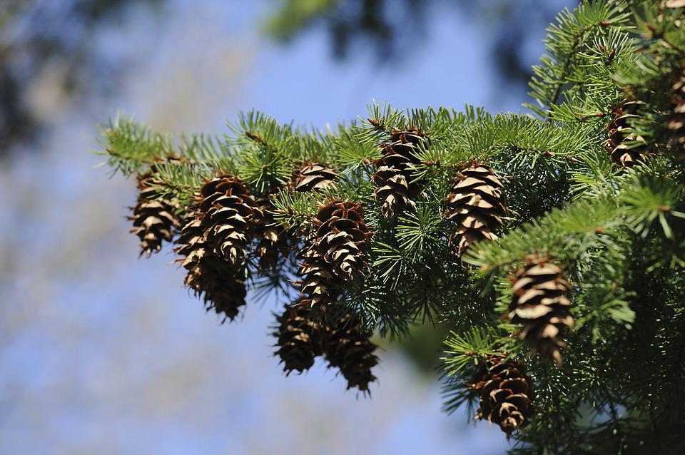 Spruce, Tree, Green, Tap, Pine Cones, Nature, Conifer