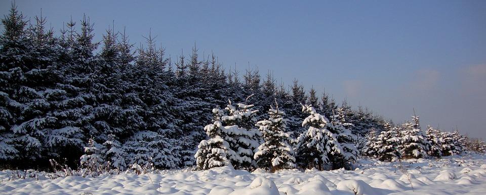 Winter, Tree, Landscape, Coniferous, White, Poland