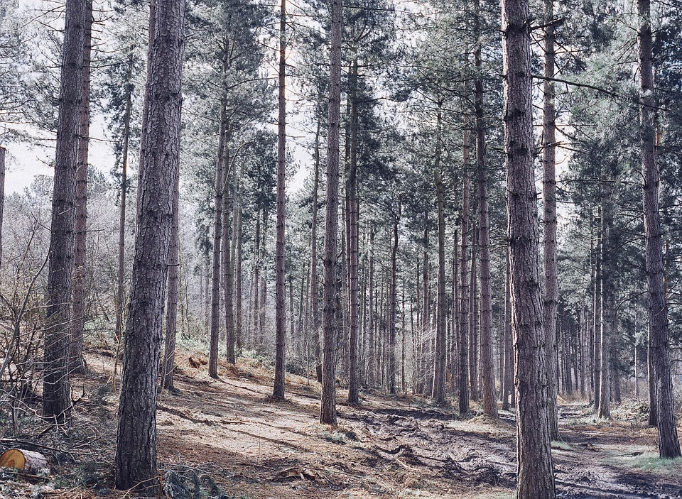 Conifer Forest, Forest, Coniferous Woodland