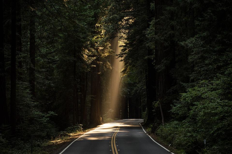 Conifers, Sunlight, Road, Avenue, Street, Trees, Woods