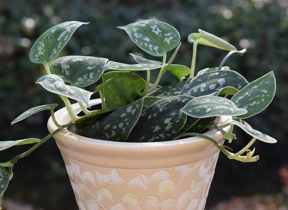 Philodendron Silva, Container Plant, Plant, Nature